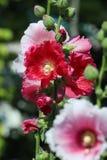 Hollyhock flower - Alcea rosea. In the garden Stock Images