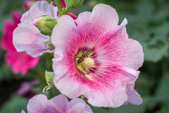 Hollyhock flower. Beautiful Hollyhock flowers in garden Royalty Free Stock Photo