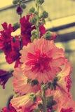 Hollyhock flower Stock Photo