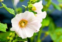 Hollyhock flower Royalty Free Stock Photography