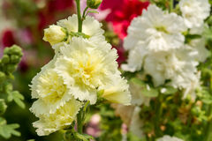 Hollyhock flower Royalty Free Stock Images