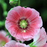 Hollyhock flower Royalty Free Stock Photography