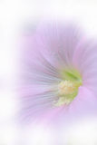 Hollyhock flower. Colorful close up hollyhock flower in soft and blurred made with color filters Stock Image