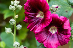 Hollyhock flower dark purple in the garden. Near the wall, floriculture concept Stock Image