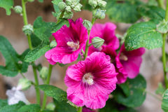 Hollyhock flower dark purple in the garden. Near the wall, floriculture concept Stock Photo