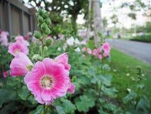 Hollyhock flower. At grass field Stock Image