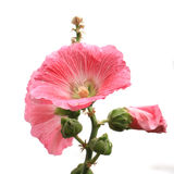 Hollyhock flower isolated on white background Stock Photography