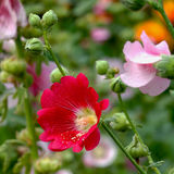 Hollyhock flower in the nature Stock Images