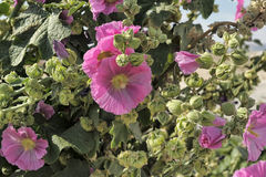 Hollyhock Flower Royalty Free Stock Image