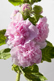 Hollyhock Flower pink Royalty Free Stock Images