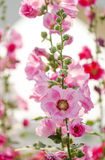 Hollyhock flower. Pink hollyhock flower in garden.Soft focus Royalty Free Stock Images