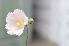 Hollyhock flower Stock Image