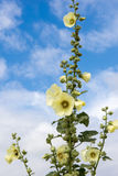 Hollyhock Flower yellow Stock Photo