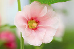 Hollyhock flowers Stock Images