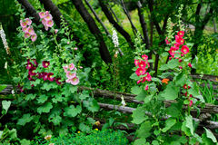 Hollyhock Flowers in a Garden royalty free stock image