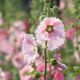 Hollyhock flowers in nature Stock Images