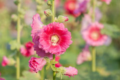 Hollyhock flowers in nature Royalty Free Stock Photography