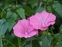 Hollyhock Flowers Pink Alcea Rosea Stock Image