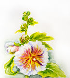Hollyhock flowers. Watercolor Royalty Free Stock Image