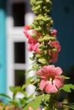 Hollyhock Garden Royalty Free Stock Photo