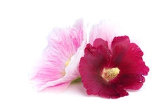 Hollyhock isolated. Pink and red hollyhock flowers, isolated on white Stock Photo