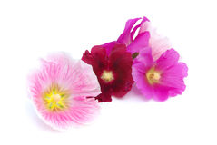Hollyhock isolated. Pink and purple hollyhock flowers, isolated on white Royalty Free Stock Image