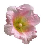 Hollyhock Isolation. Isolation of a Hollyhock blossom on white, very detailed royalty free stock photography