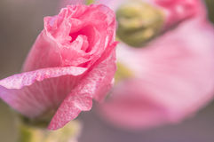 Hollyhock kwiat Obrazy Stock