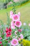 Hollyhock kwiat Fotografia Stock