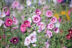 Hollyhock kwiat Obraz Royalty Free