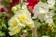 Hollyhock kwiat Obrazy Royalty Free