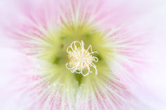 Hollyhock kwiat Zdjęcie Royalty Free