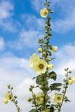 Hollyhock kwiatu kolor żółty Zdjęcie Stock