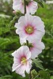 Hollyhock kwiatu zakończenia up różowy kwiat - światło - Lato kwiat fotografia royalty free