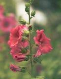 Hollyhock kwiaty zdjęcia royalty free