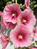 Hollyhock lcea Althea rosea Stockbilder