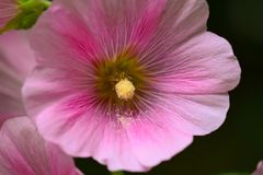 Hollyhock pink close up Royalty Free Stock Photography