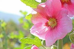 Hollyhock różowy kwiat zdjęcia royalty free