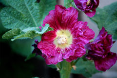 Hollyhock rouge Photo libre de droits