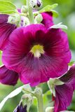 hollyhocks Royalty Free Stock Photography