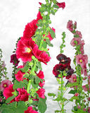 Hollyhocks Imagem de Stock Royalty Free