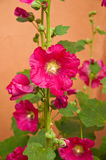 hollyhocks Stockfoto