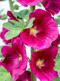 hollyhocks Royaltyfria Foton