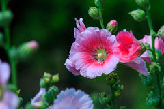 hollyhocks Lizenzfreie Stockbilder