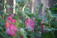 hollyhocks Photo stock