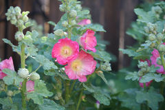 Free Hollyhocks Stock Photography - 95416592
