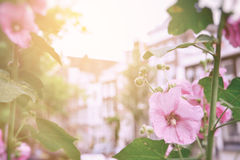 Hollyhocks in Amsterdam Royalty Free Stock Photography