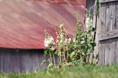 Hollyhocks blancos Imagen de archivo libre de regalías