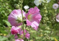 Hollyhocks blooming in Perennial Garden Stock Images