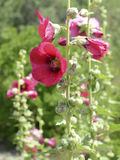 Hollyhocks blooming in Perennial Garden Stock Image